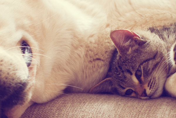 White dog laying on couch holding a tabby kitten